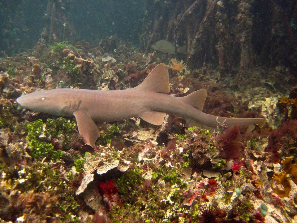 Nurse Shark in mangrove between Cayo Coral and Dolphin Bay in Bocas del Toro, Panama