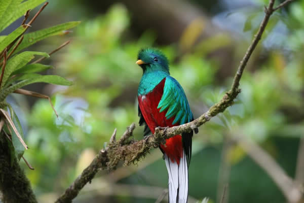 A Resplendent Quetzal perched on an old tree in the midst of the cloud forest