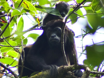 Howler Monkey with baby at Isla Palenque in the Chiriqui Gulf National Marine Park in Panama