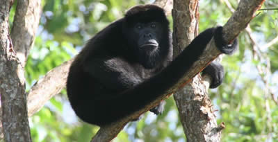 Howler Monkey at Chorcha, Chiriqui