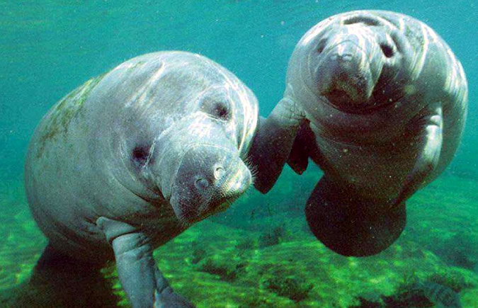 It is believed that fewer than 100 Manatees still live in Bocas del Toro, Panama