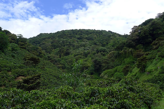 The hills of the valley of Boquete are filled with coffee trees