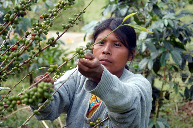 Many indigenous leave their homes to go pickup coffee in the mountains of Boquete every year