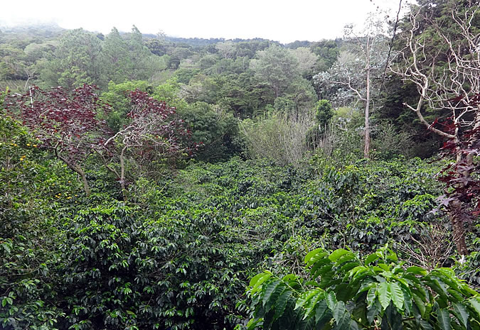 The result of Don Tito's hard work is a beautiful organic coffee farm with shade grown coffee that is home to a vast amount of wildlife and gorgeous birds